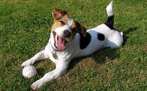 Джек рассел терьер играет с мячом