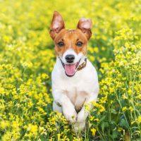 Собака скачет по цветущему полю