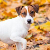 Молодая собака гуляет среди осенней листвы