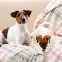 Два молодых пса породы джек рассел терьер