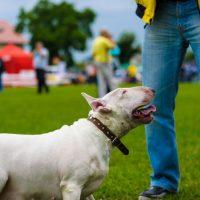 Собакка породы бультерьер