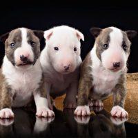 Три щенка бультерьера