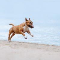 Бультрьер бежит по берегу моря