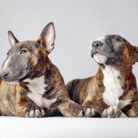 Два щенка бультерьера