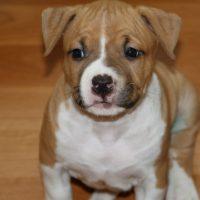 Коричневый милый щенок