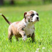 Американский стаффордширский терьер - щенок в траве