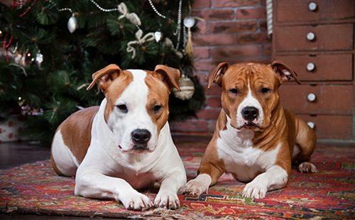 Две собаки породы Американский стаффордширский терьер