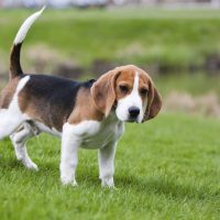 Пес гуляет на газоне