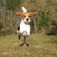 Щенок бигля в прыжке
