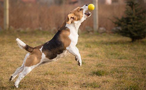 Бигль в прыжке ловит мяч