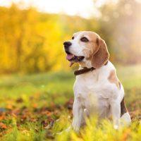 Красивый пес породы бигль