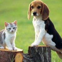 Бигль с кошкой на пеньках