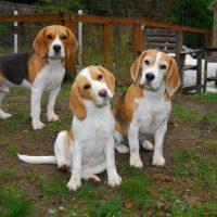 Три красивые бигля