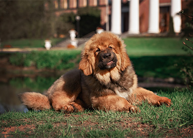 Порода собак тибетский мастиф фото