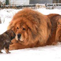 Тибетский мастиф со щенком