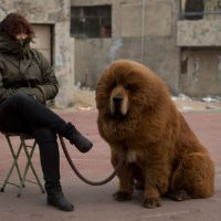 Тибетский мастиф с хозяйкой