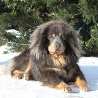 Тибетский маститф лежит на снегу