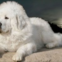 Тибетский мастиф белого окраса