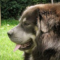 Большой пес породы тибетский мастиф