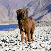 Тибетский мастиф на фоне гор