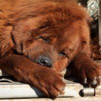 Тибетский мастиф спит