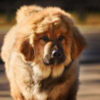 Молодой пес тибетский мастиф