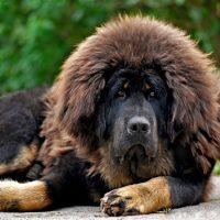 Большая сторожевая собака мастиф