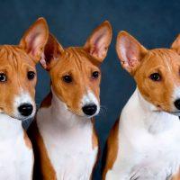 Три собаки породы басенджи