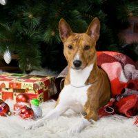 Басенджи лежит под новогодней елкой
