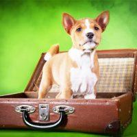 Басенджи в чемодане