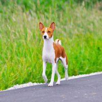 Красивая собака породы басенджи идет по дороге