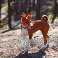 Молодой басенджи гуляет в лесу