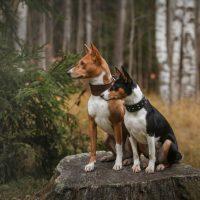 Два собаки басенджи сидят на пеньке
