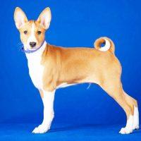Молодая собака породы басенджи