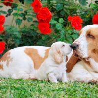 Взрослый бассет нюхает щенка
