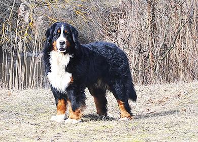 Порода собак зенненхунд: происхождение, щенки, стоимость. Фото