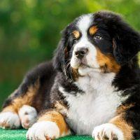 Бернский зенненхунд щенок лежит в парке