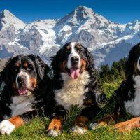 Бернские зенненхунды в горах