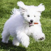 Бегущая собака породы бишон-фризе