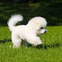 Бишон-фризе идет по траве