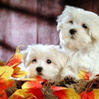 Две красивые собаки породы бишон-фризе