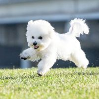 Бишон-фризе бежит по газону