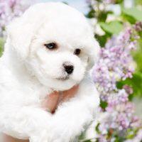 Красивый щенок бишон-фризе