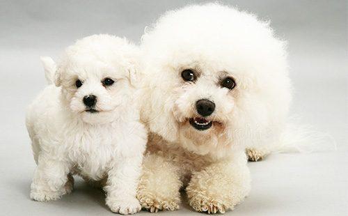 Взрослый бишон-фризе и его щенок