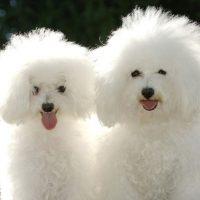 Две собаки бишон-фризе
