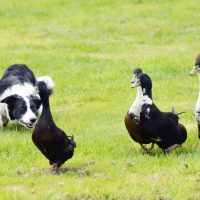 Бордер-колли охотится на гусей