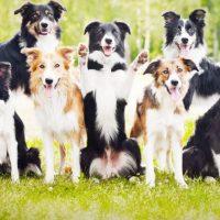 Много собак породы бордер-колли