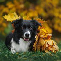 Бордер-колли лежит среди осенней листвы