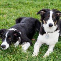 Дво молодые собаки породы бордер-колли