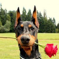 Доберман держит розу в зубах